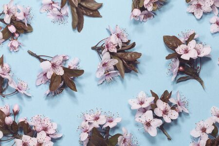 Spring cherry blossom on blue background  Stock Photo