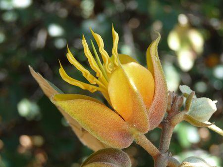Sterculiaceae Flower