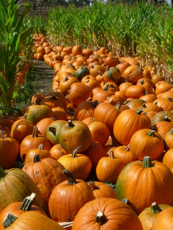 gourds: Rows of Pumpkins Stock Photo
