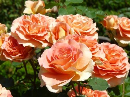 Perzikkleurige rozen Stockfoto