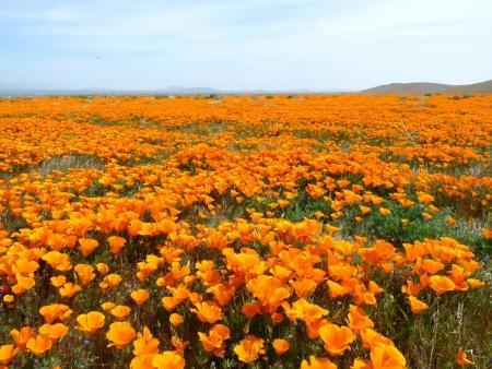 Poppy fields Stock fotó