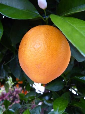 Enige oranje Stockfoto