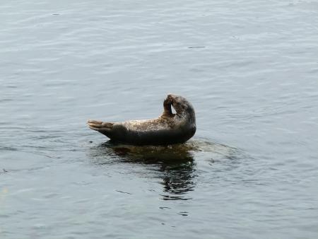 Seal rustend op een rots