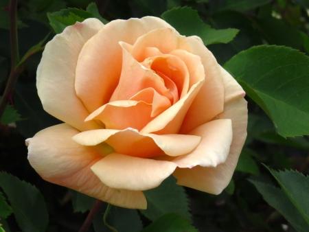 Peache-kleurige roos