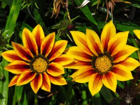 Twee fel gekleurde bloemen Gazania