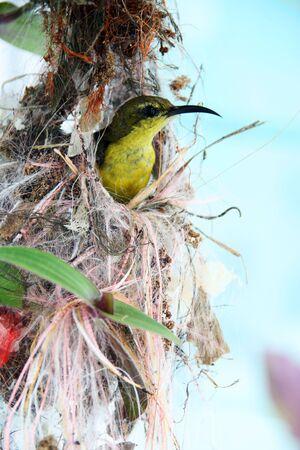 sunbird: A sunbird resting in her nest.