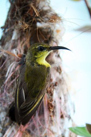 perks: A sunbird perks on her nest.
