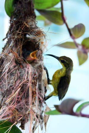 sunbird: A mother sunbird feeding her babies.