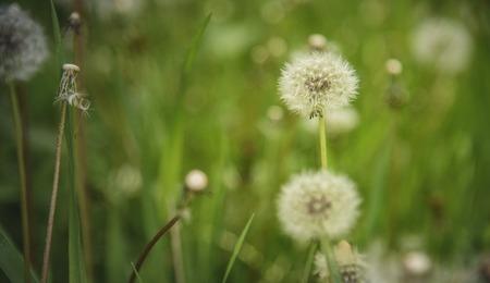 Beautiful field of dandelion flowers in a tall green grass meadow