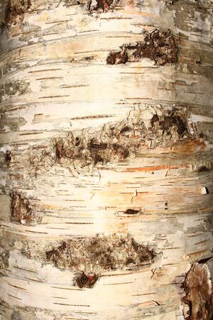 bark: rind of a birch