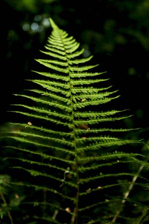 brake fern: a fern on the dark background in the forest