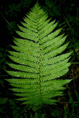 brake fern: a leaf of the fern in the forest Stock Photo