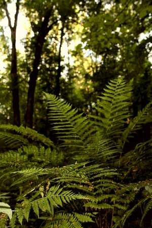 brake fern: a green fern in the forest