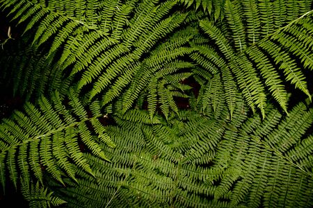 brake fern: a lot of ferns in the forest Stock Photo