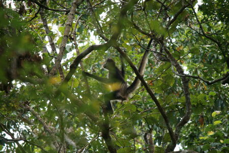 calakmul: Monkeys in trees over Calakmul ruins Stock Photo