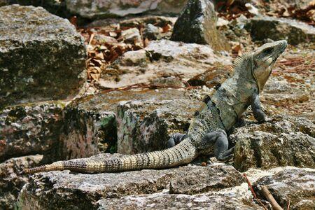 iguana lizard in Cozumel Mexico