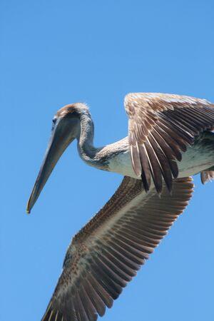 Pelican wing and beak against blue sky