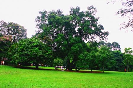 botanic: Singapore Botanic Garden, Grand tree