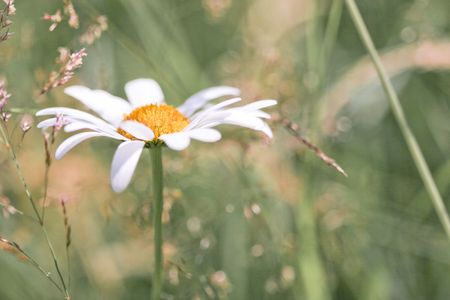 camomile photo