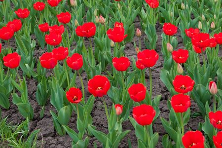 compliment: red tulips