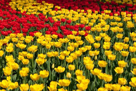red and yellow tulips photo