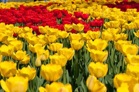 compliment: red and yellow tulips