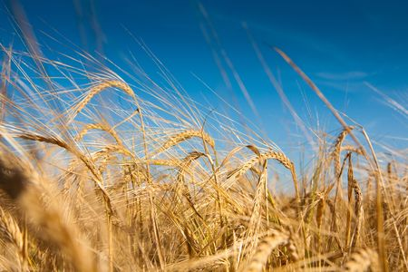Wheaten field and the blue sky Stock Photo - 5499725