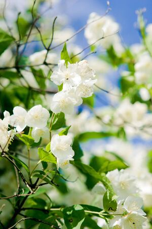 jasmine blossom photo
