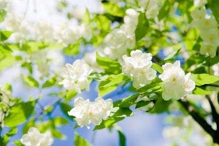 花、ジャスミン、