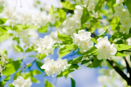 blossom, jasmine, Stock Photo