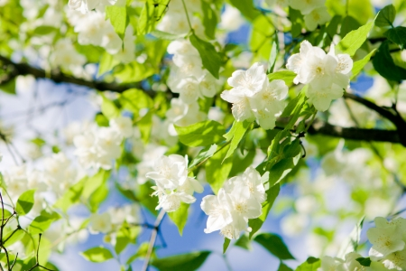 jasmine: blossom, jasmine, Stock Photo