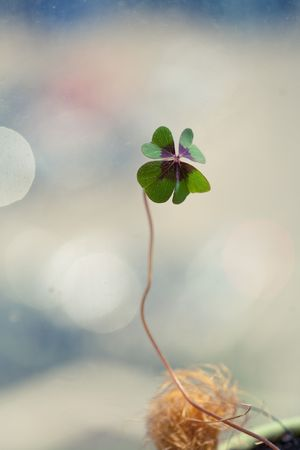 Four - Leaved Clover, green Stock Photo - 8605643