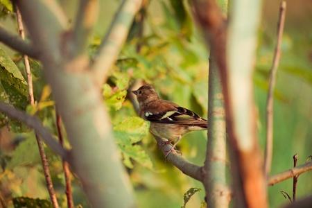 ruise�or: Nightingale en la naturaleza Foto de archivo