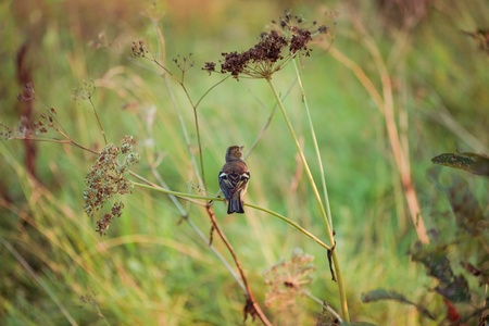ruise�or: Nightingale en la naturaleza Foto de archivo