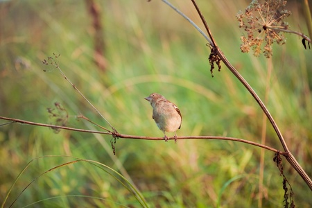 nightingale in nature photo