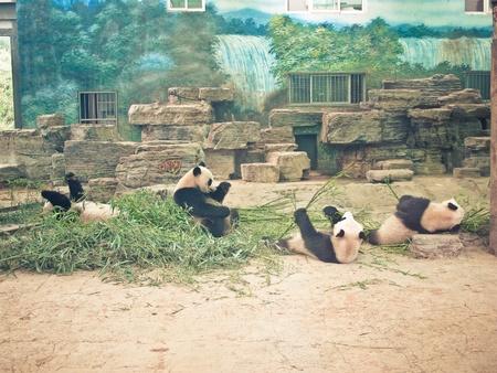 cute animal chinese giant panda in zoo photo