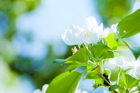 jasmine: Flowers of apple tree
