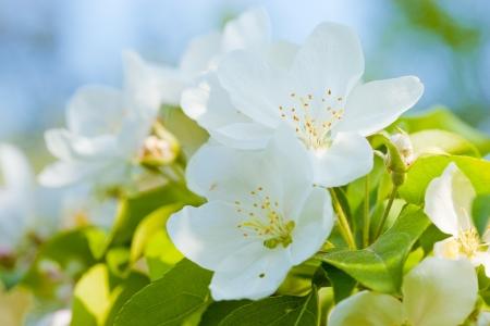 manzana agua:  Flores de Manzano