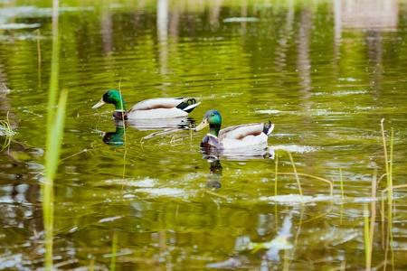 ducks on the lake  photo