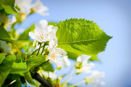 リンゴの木の花