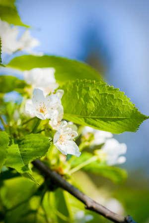 Flowers of apple tree photo