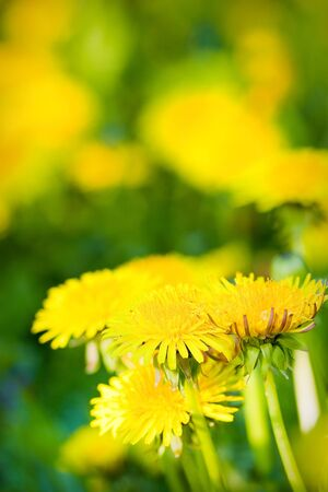 dandelion in a meadow Stock Photo - 9586039