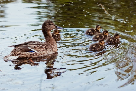duck with  little duckling
