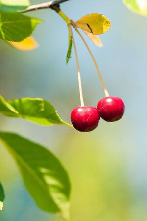 red cherry photo
