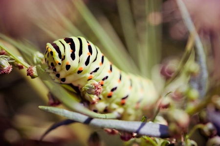 Swallowtail (Papilio machaon) caterpillar photo