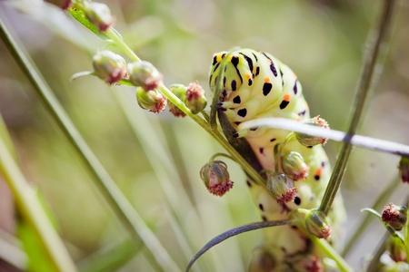 papilio: Swallowtail  Papilio machaon  caterpillar  Stock Photo