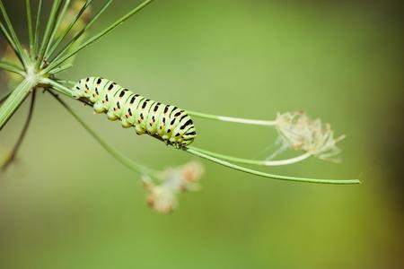 oruga: Cola de Golondrina (Papilio Macaón) oruga sobre el eneldo