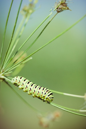 Swallowtail (Papilio machaon) caterpillar on dill  photo