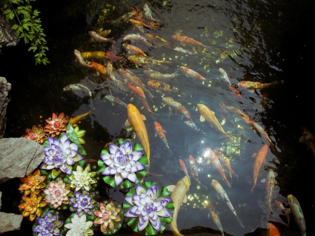 Colorful brocaded carps  photo