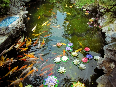 koi fish pond:  Colorful brocaded carps